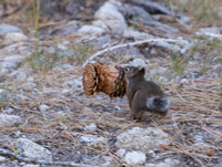 Douglas Squirrel Carrying a Pinecone