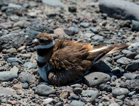 Killdeer Mom on Her Nest