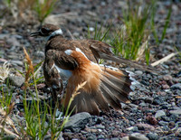 Killdeer Mom