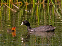American Coot Chick and Mom