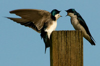 Swallow Squabble