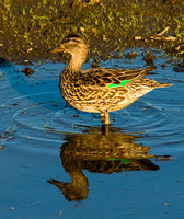 Green Winged Teal-Female
