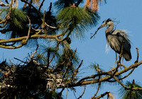 Great Blue Heron Nest Building