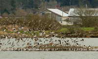 American Avocets and Marbled Godwits