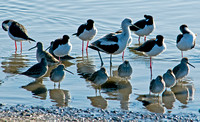 American Avocet, Long Billed Dowitchers and Black Necked Stilts