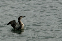 Common Loon, Winter Phase