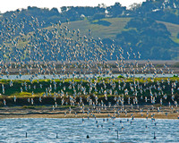 A Flock of Shorebirds