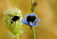 Bumblebees on Chickory
