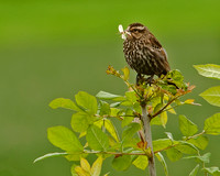 Female Red Winged Blackbird With Food for Her Babies