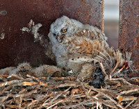 Great-horned Owlet