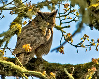 Great Horned Owl With a Bunny Rabbit