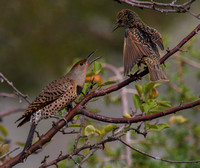 Northern Red-Shafted Flicker and European Starling