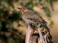 Northern Red-shafted Flicker (Intergrade)